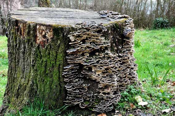 fungal