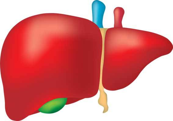 animated liver