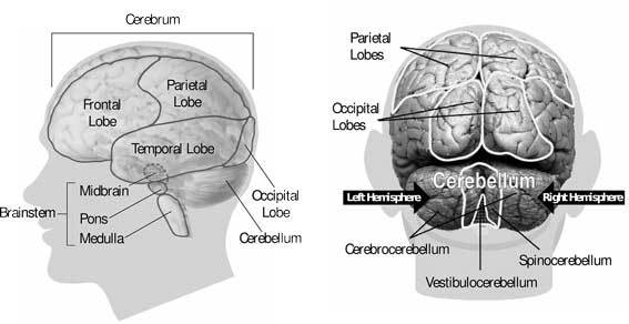 Anotomy of the brain