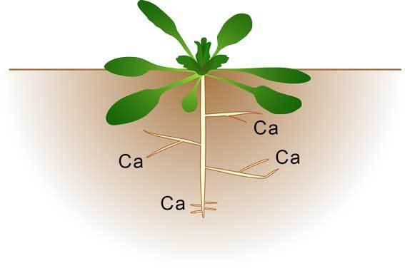 calcium from plants