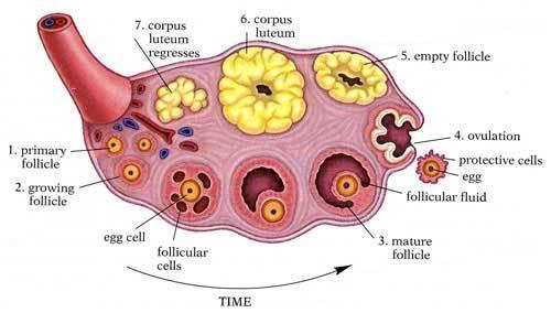 anatomy of ovaries