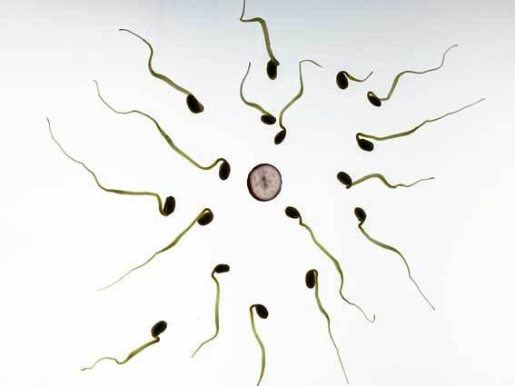 Sperms fertilizing eggs