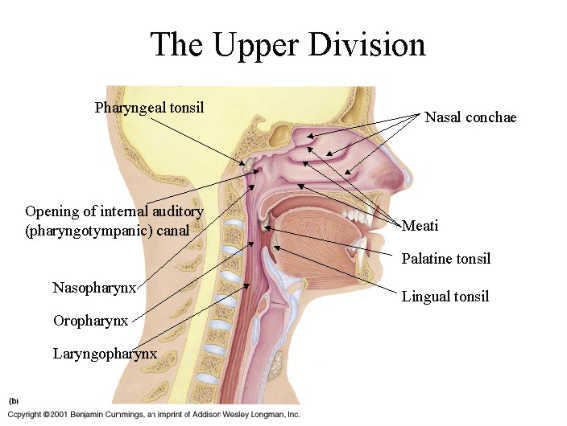 Pharyngeal-Ducts