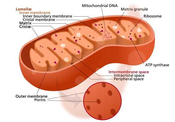 Mitochondrion_cell