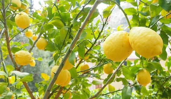 lemons hanging from a tree