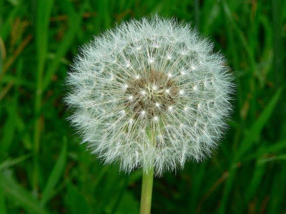 white dandelion flower medicinal weeds