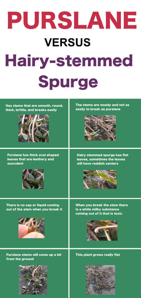 table showing differencebetween purslane and hairy-stemmed spurge