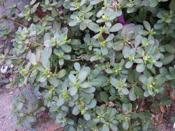 purslane plan medicinal weeds