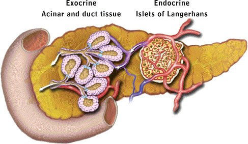 Overview of the exocrine and endocrine function of the pancreas