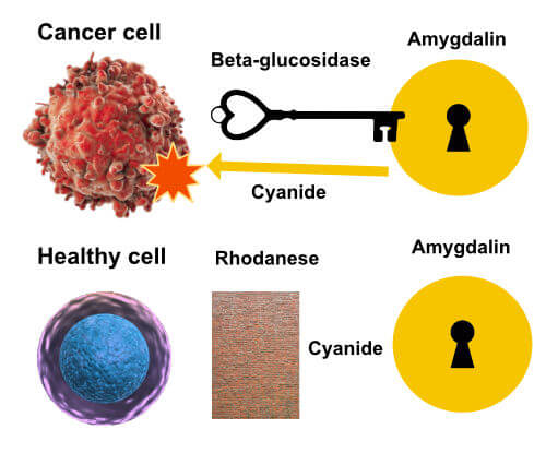 how amygdalin attacks cancer cell