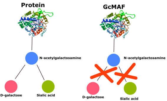 Diagram showing GcMAF creation