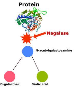 Diagram showing how nagalase hinder GcMAF