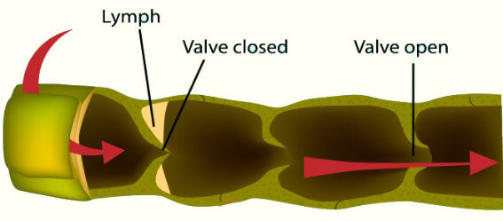 lymph valves